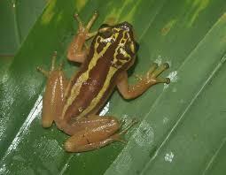 Golden Tree Frog